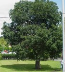 Horse Chestnut tree in its prime