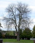 Horse Chestnut Tree Oct 2012