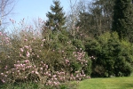 Another photo of the Magnolia Bush in Bloom taken by me 2011