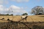 Sheep grazing in the fields (c) Jane Risdon 2012