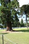 Wellingtonia - also known as the Giant Redwood - throughout the grounds