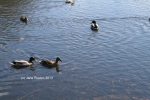Wild-life on the river. (c) Jane Risdon 2013