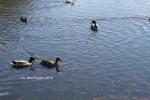 Wild-life on the river. (c) Jane Risdon 2013