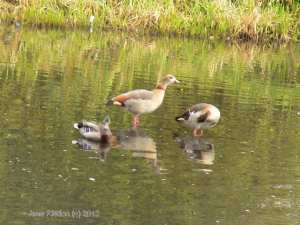 Egyptian Geese on a lake nearby (c) Jane Risdon 2013