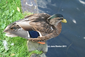 Little Chap I photographed on a local lake (c) Jane Risdon 2011