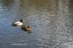 Ducks on local lake (c) Jane Risdon 2013