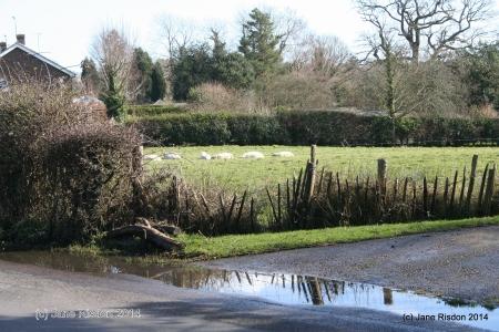 Sheep in the wet fields (c) Jane Risdon 2014