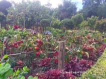 West Green apples (c) Jane Risdon 2015