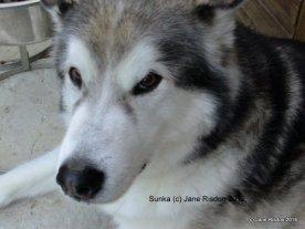 Alaskan Malamute (c) Jane Risdon